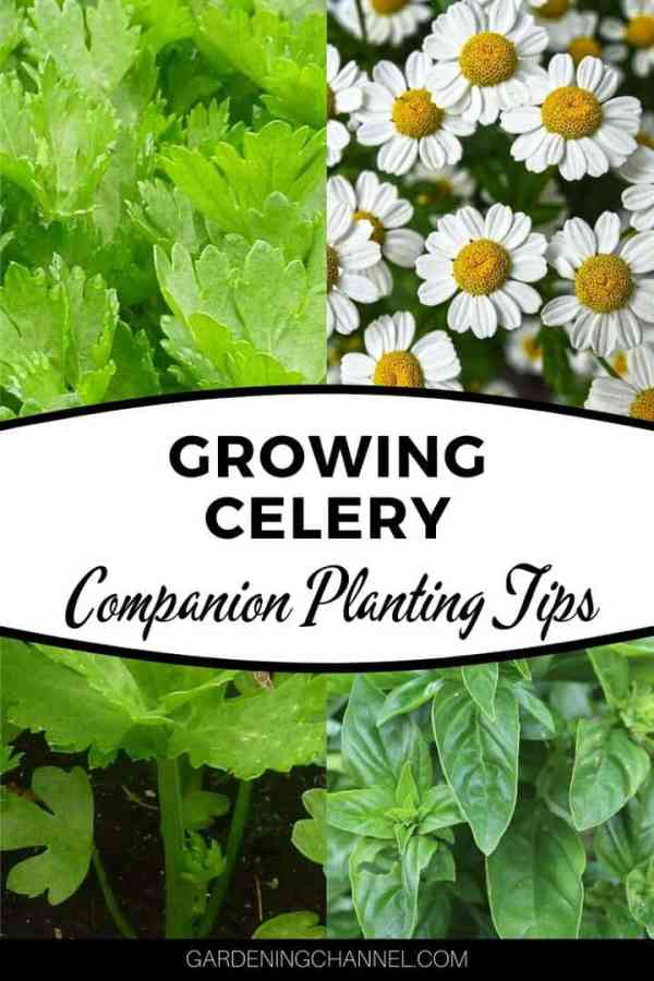 chamomile celery basil with text overlay growing celery companion planting tips