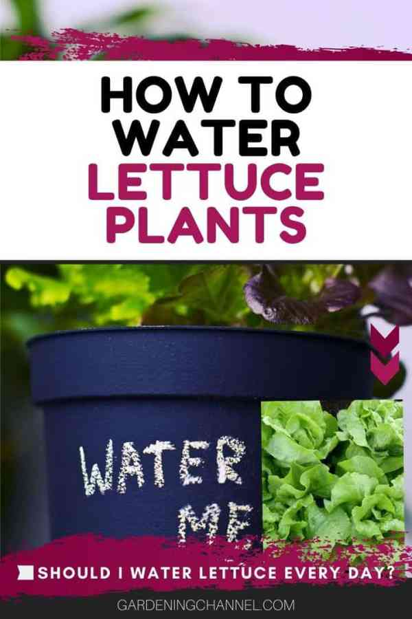 lettuce in container and in ground lettuce text overlay how to water lettuce plants should i water lettuce every day