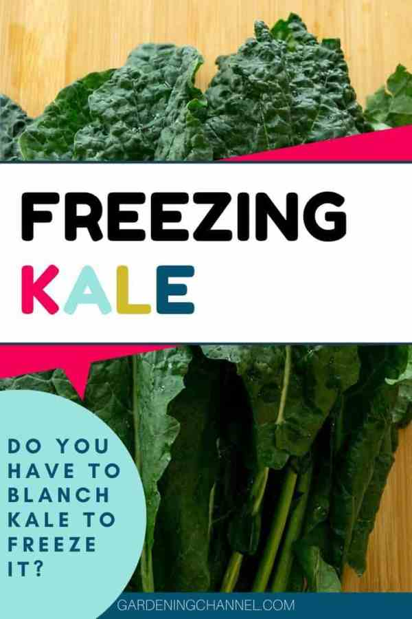 kale leaves with text overlay freezing kale do you have to blanch kale to freeze it