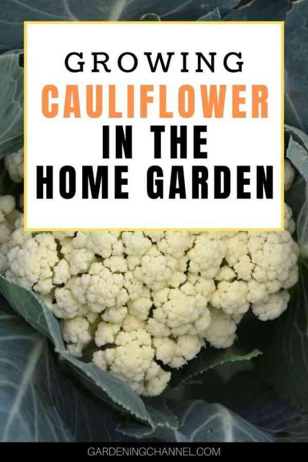 cauliflower plant with text overlay growing cauliflower in the home garden