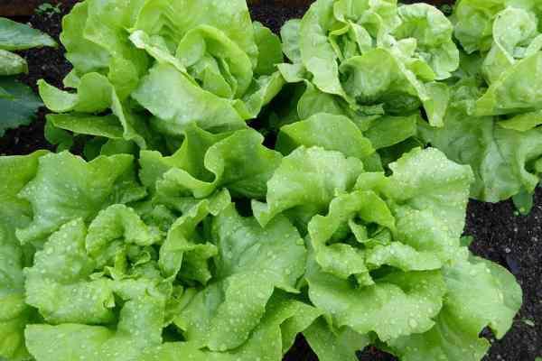 lettuce growing