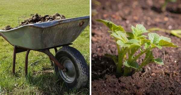 manure and potato plants
