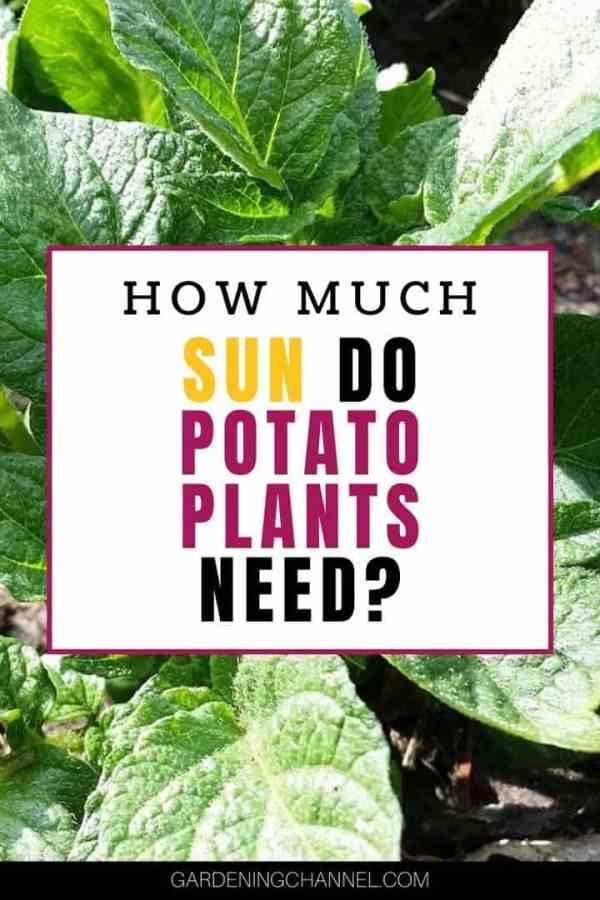 potato plant garden with text overlay how much sun do potato plants need