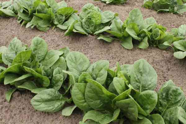 how to fertilize spinach