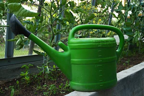 watering can tomato plants
