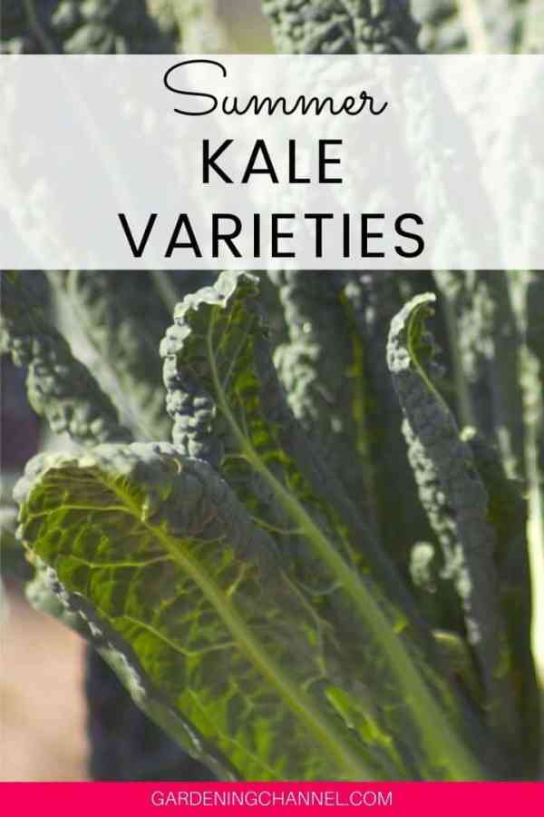 kale in sunlight with text overlay summer kale varieties