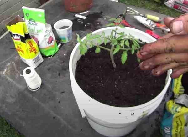 tomato plant in 5 gallon bucket