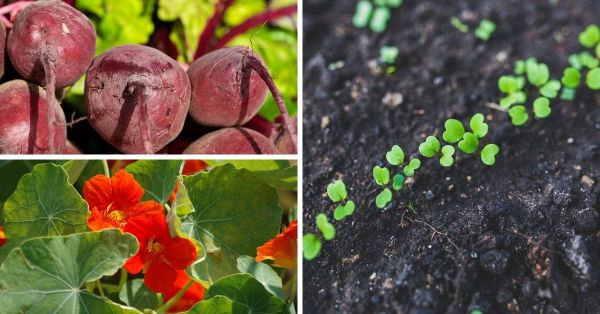 companion planting tips arugula