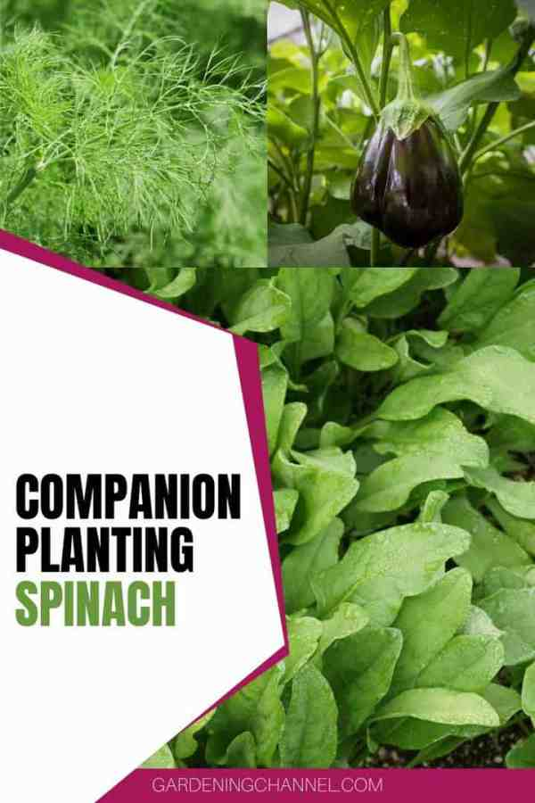 dill eggplant spinach with text overlay companion planting spinach