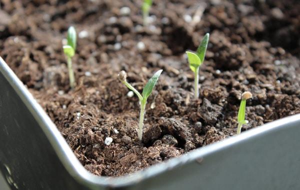 seedling tomatoes