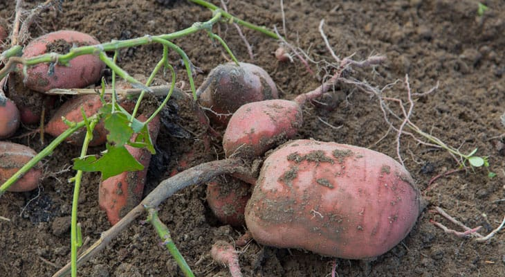 sweet potatoes agriculture