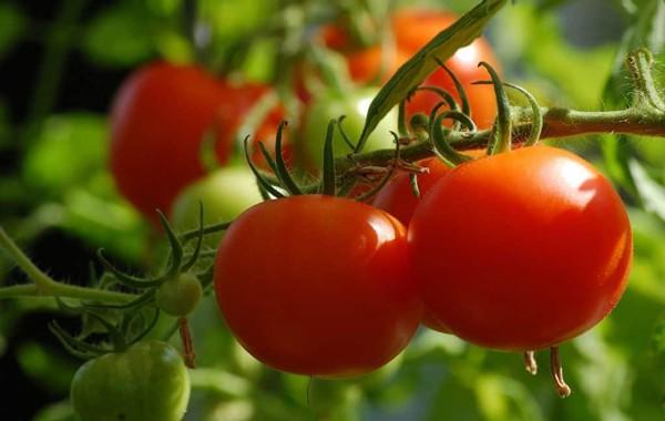 Ripe Tomato Celebrity