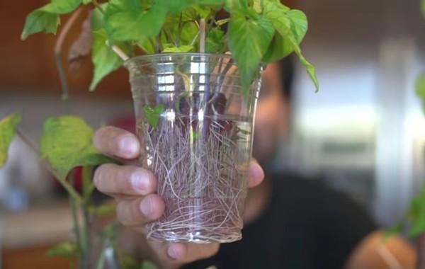 Easiest Way to Grow Lots of Sweet Potato Slips