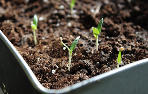 Seedling tomato plant