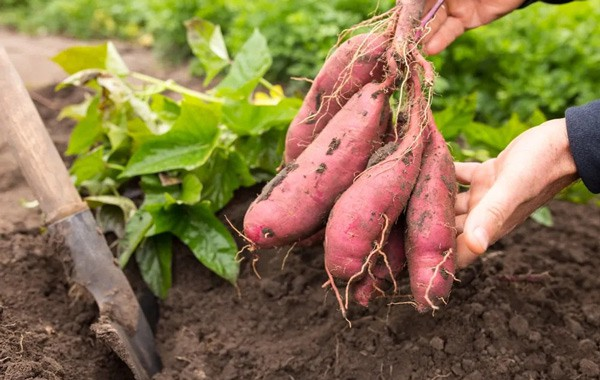 How To Grow Sweet Potato Slips In Containers