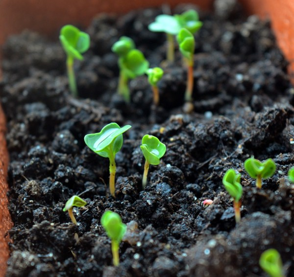 growing arugula in pots