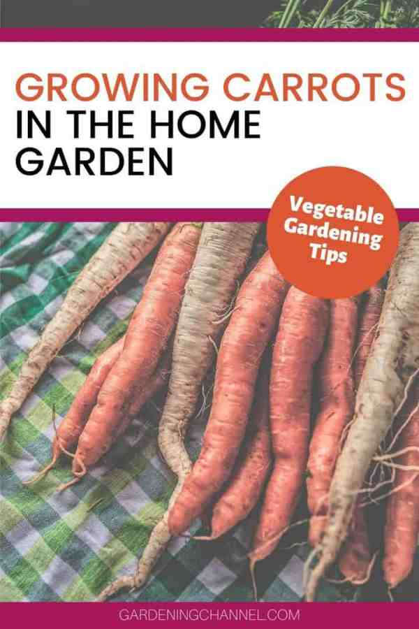 harvested carrots with text overlay growing carrots in the home garden vegetable gardening tips