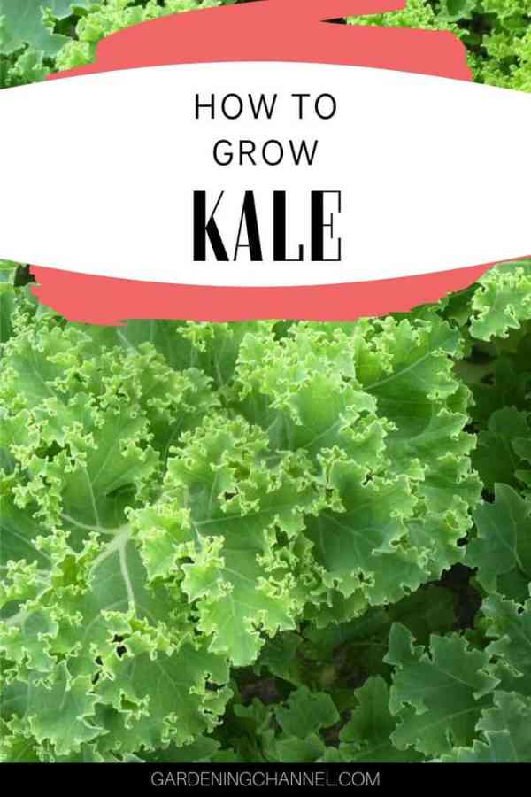 kale plants with text overlay how to grow kale