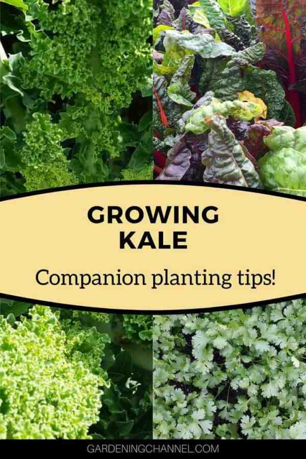 kale swiss chard dill with text overlay growing kale companion planting tips