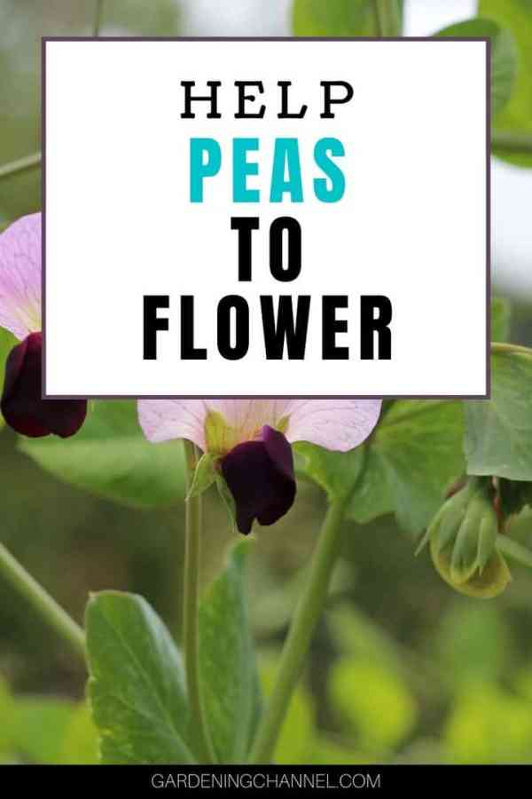 pea blooms garden with text overlay help peas to flower