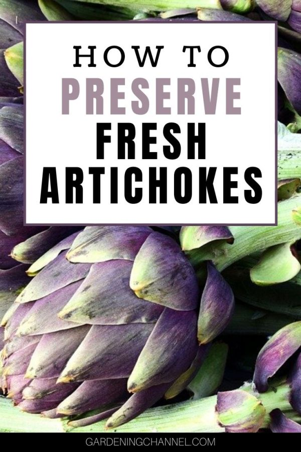 harvested artichokes with text overlay how to preserve fresh artichokes