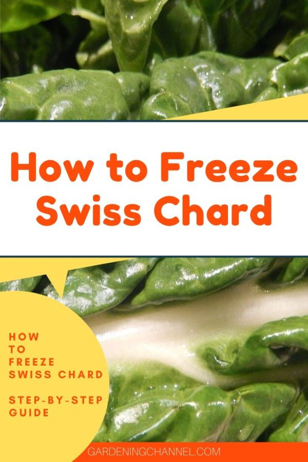 soaking swiss chard leaf with text overlay how to freeze swiss chard step by step guide