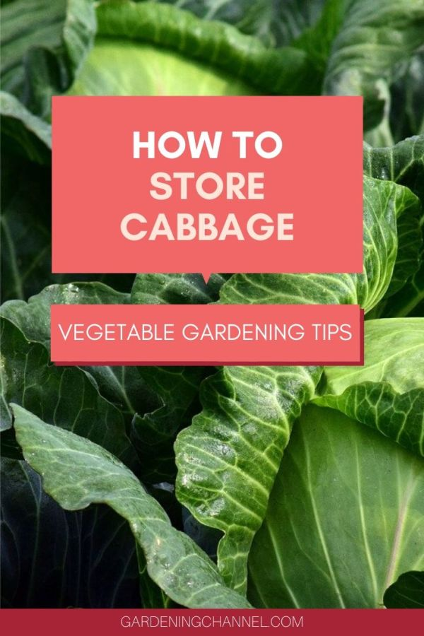 cabbage harvest with text overlay how to store cabbage vegetable gardening tips