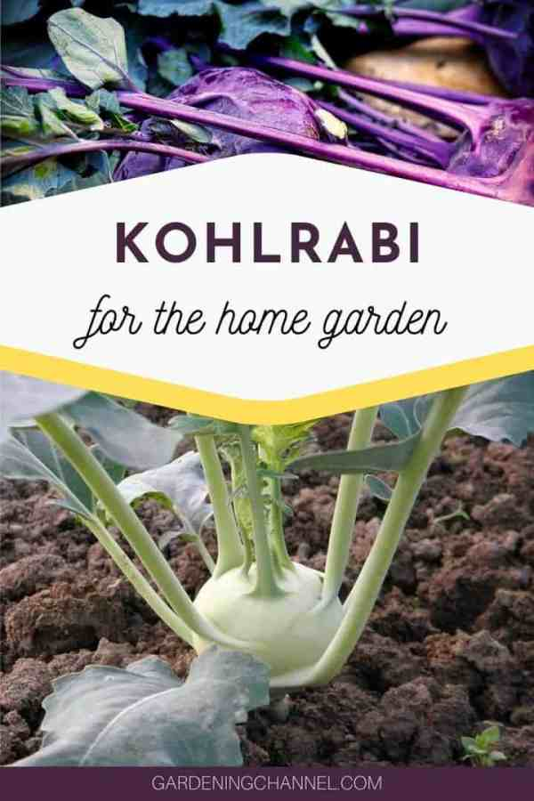 harvested and growing kohlrabi in the garden with text overlay kohlrabi for the home garden