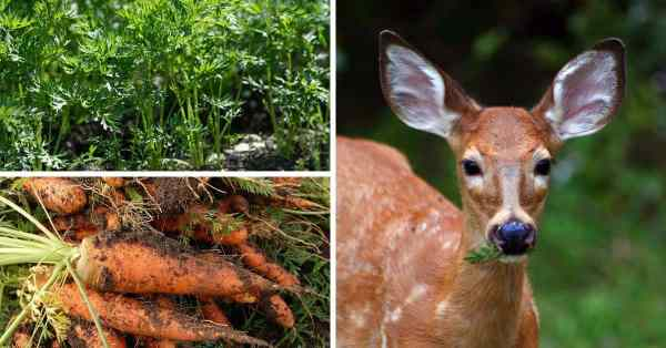 deer like to eat carrots garden