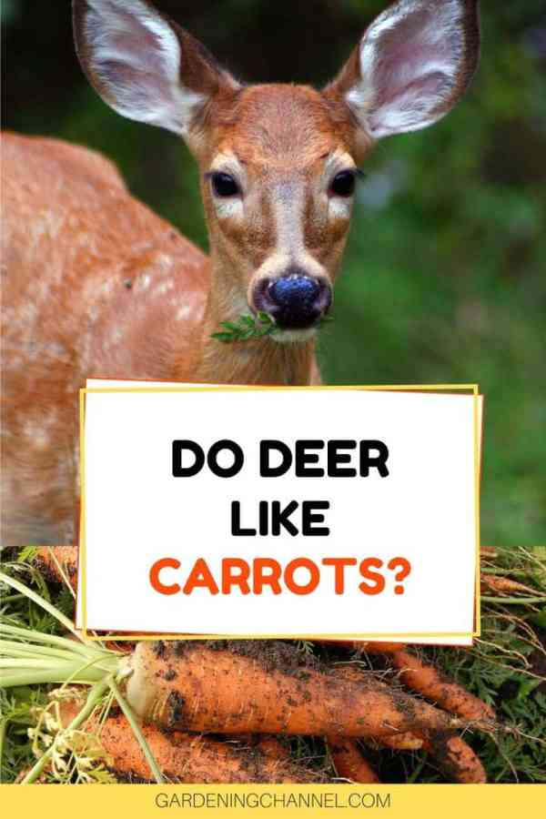 deer carrot tops and root with text overlay do deer like carrots