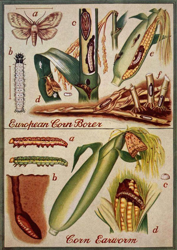 european corn borer and corn earworm illustration
