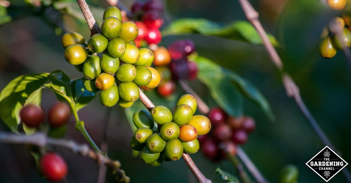 Plant of coffee