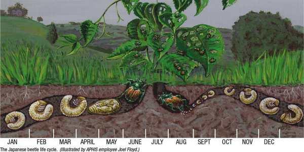 japanese beetle illustration