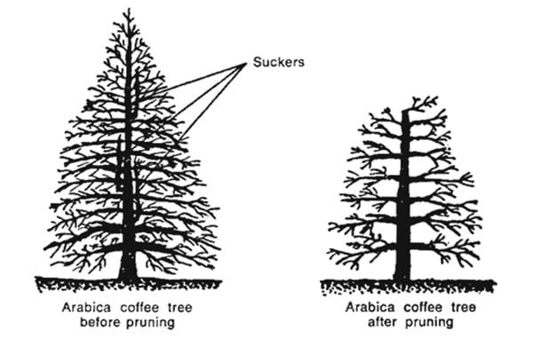 pruning coffee trees