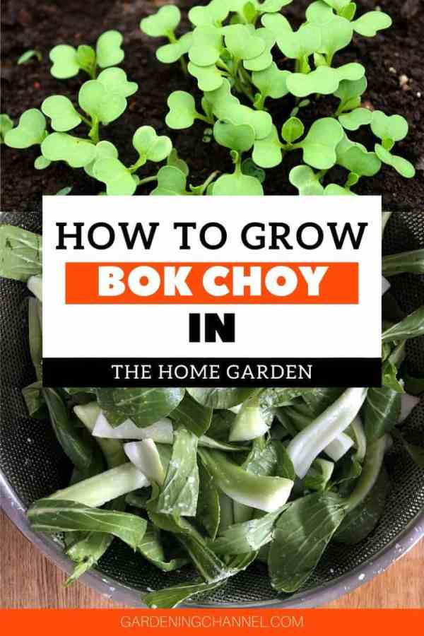 bok choy seedlings and chopped in kitchen with text overlay how to grow bok choy in the home garden