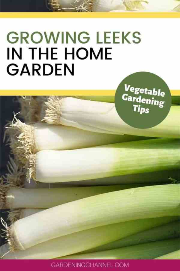 harvested leeks with text overlay growing leeks in the home gardening vegetable gardening tips