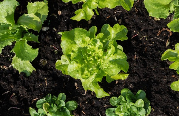 growing lettuce in the summer