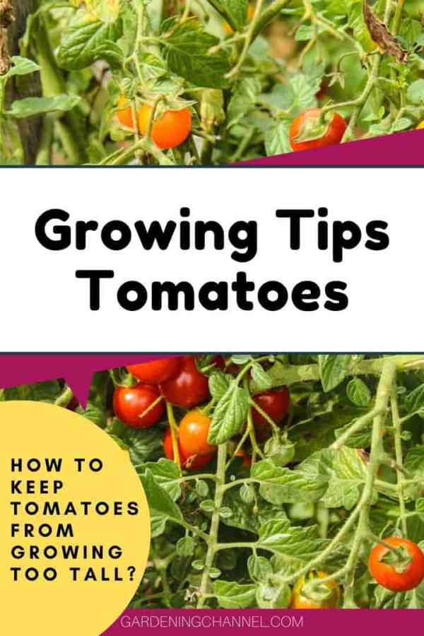 vine tomato plant with text overlay growing tips tomatoes how to keep tomatoes from growing too tall