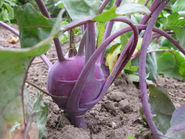 purple kohlrabi growing