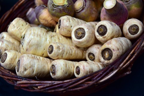 harvested parsnips ready to eat
