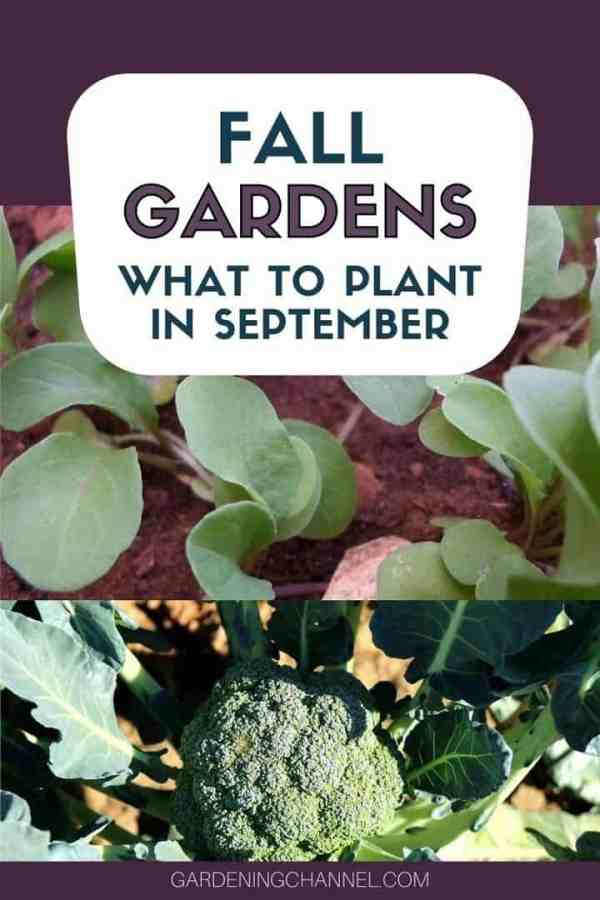 arugula broccoli in the garden with text overlay fall gardens what to plant in september