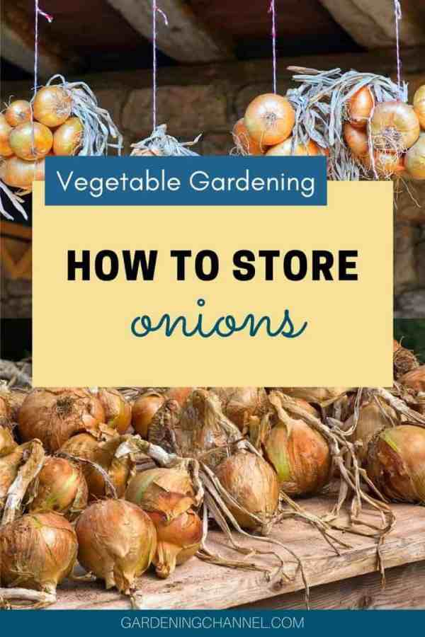 braided and curing onions with text overlay vegetable gardening how to store onions