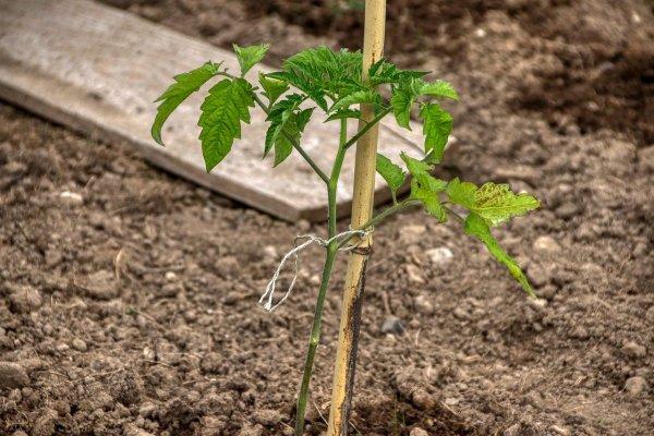 small tomato plant