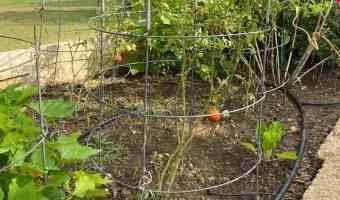 tomato plant growing