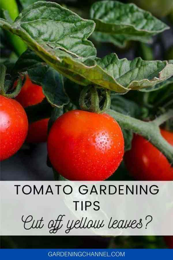 tomato plant with damaged leaves with text overlay tomato gardening tips cut off yellow leaves