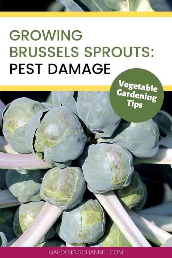 brussels sprout plant with text overlay growing brussels sprouts pest damage vegetable gardening tips