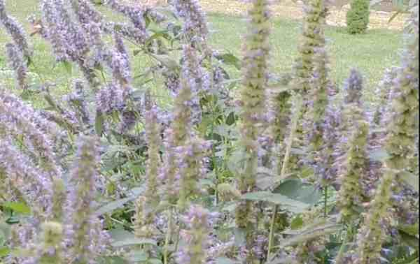 Anise hyssop purple flower