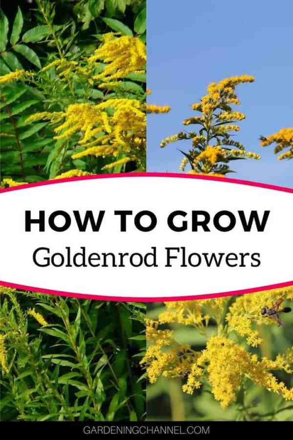 goldenrod growing with text overlay how to grow goldenrod flowers