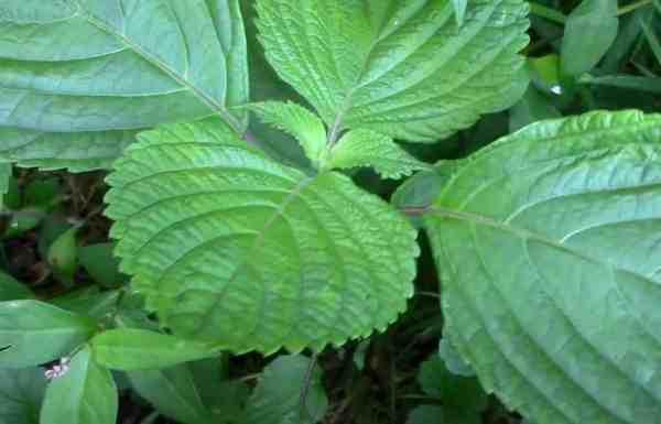 perilla plant herb