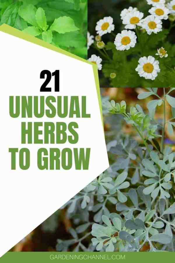 stevia feverfew rue with text overlay twenty one unusual herbs to grow